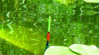 Крупняк в кувшинках выкладывает поплавок Рыбалка на карася летом Рыбалка на поплавок