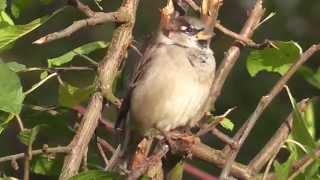 Sparrow after rain - Spatz nach dem Regen (Passer domesticus)