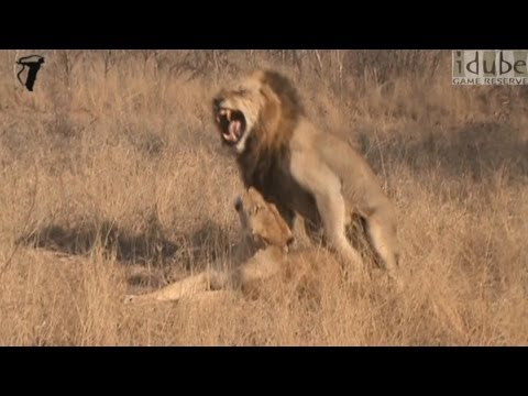 WILDlife: HD - Pairing Lions! from YouTube · Duration:  36 seconds