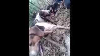 caçada de porco do mato Rio Verde