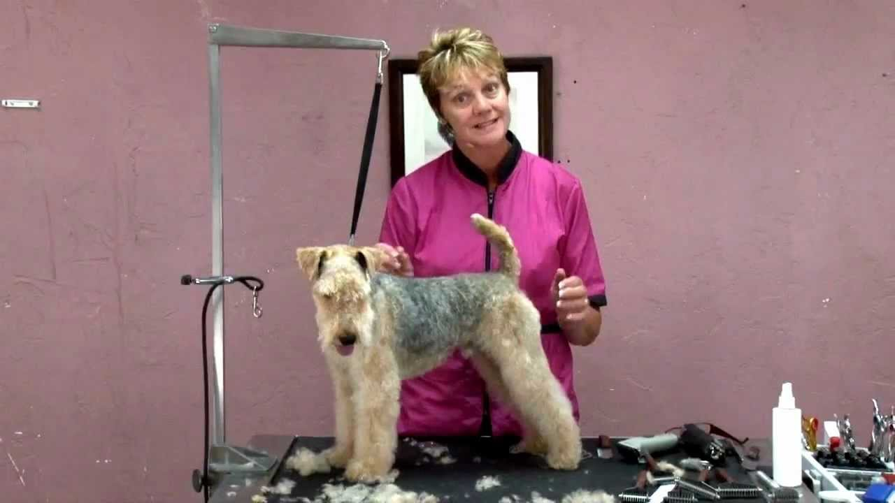 Modified Pet Trim On A Lakeland Terrier Cheryl Purcell Ncmg Youtube