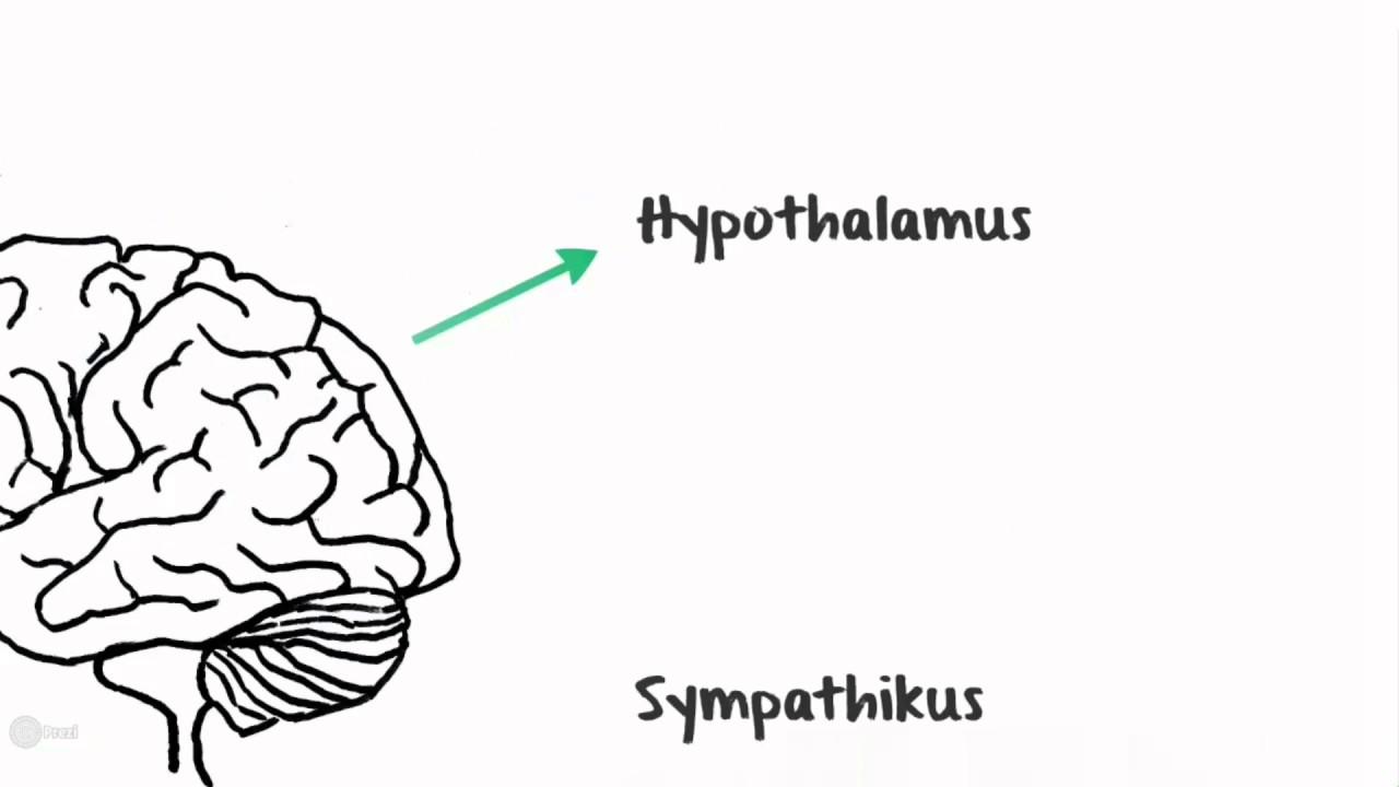 Nerven-und Hormonsystem arbeiten zusammen. - YouTube