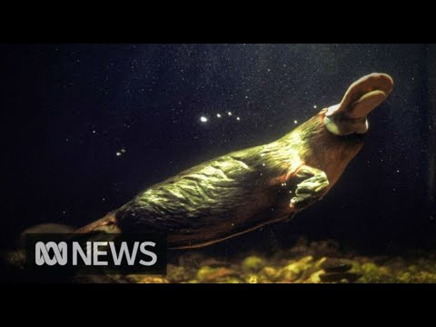 One of Australia's most iconic animals - the platypus, faces a bleak future | ABC News