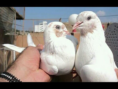 Galwa Kabootar For Sale 0309 6121277 By Faisalabad Pigeons Youtube Buy or sell something today! galwa kabootar for sale 0309 6121277 by faisalabad pigeons