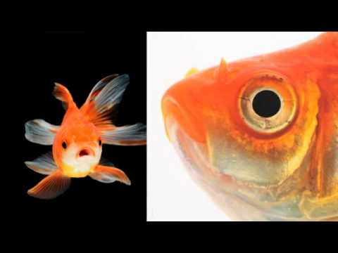 Goldfish Have An Ear For Music