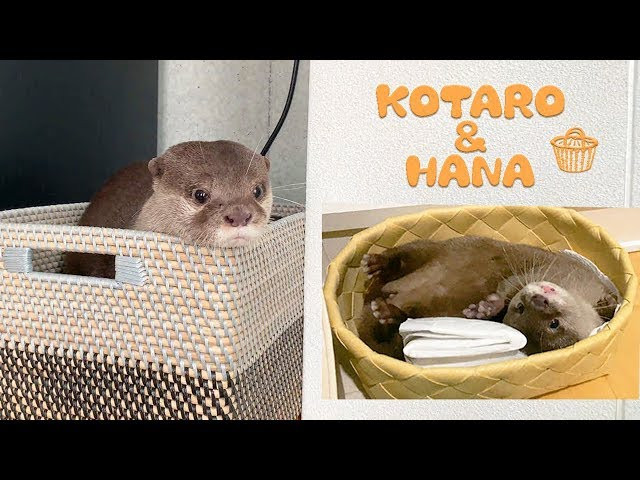 カワウソコタローとハナ これが2人の秘密基地! Otter Kotaro&Hana in Basket
