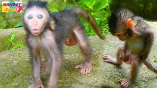 Cute Timo so lovely & friendly walk to talk | Handsome Timo standing like human | Monkey Daily 1776
