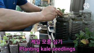 베란다 텃밭 케일 모종 심기 Planting kale …