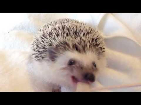【ハリネズミ★まるたろう】おやつの梨を食べる 【Marutaro the Hedgehog】eating a asian pear