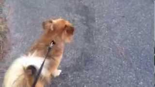My New Dog Stanley The Paperanian - Papillon Pomeranian Mix