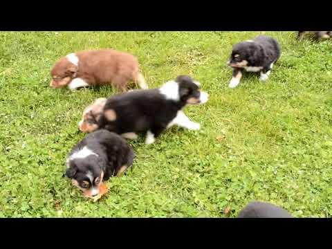 Roy Miller's Australian Shepherd Puppies