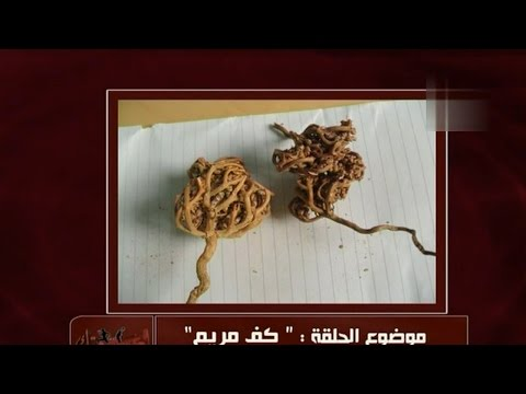 فوائد عشبة كف مريم | الدكتور أمير صالح
