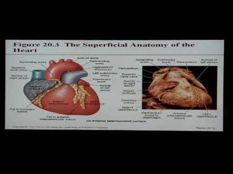 Anatomy and Physiology Help: Chapter 20 Cardiovascular System