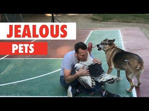 Jealous Pets