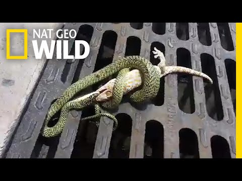 Fight Between Gecko and Snake Has a Surprising End   Nat Geo Wild