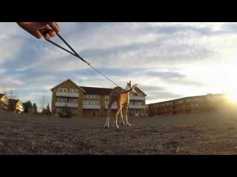 Podenco Ibicenco - the art of playing with a cone