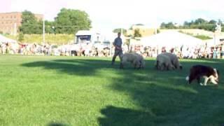 Herding demonstration with help if border collies @ St. Paul Irish ...