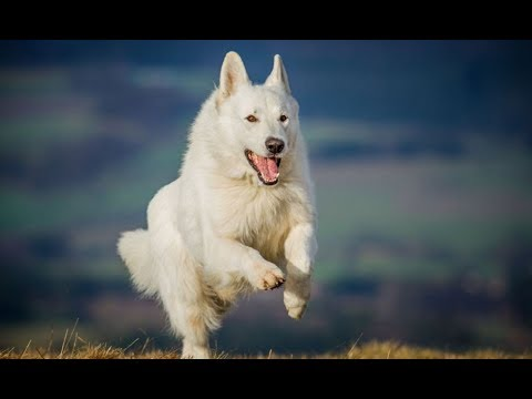 German Shepherd | Cute White German Shepherd Dogs | Cute White Dogs