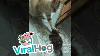 Cat Keeps the Kitten Calm || ViralHog