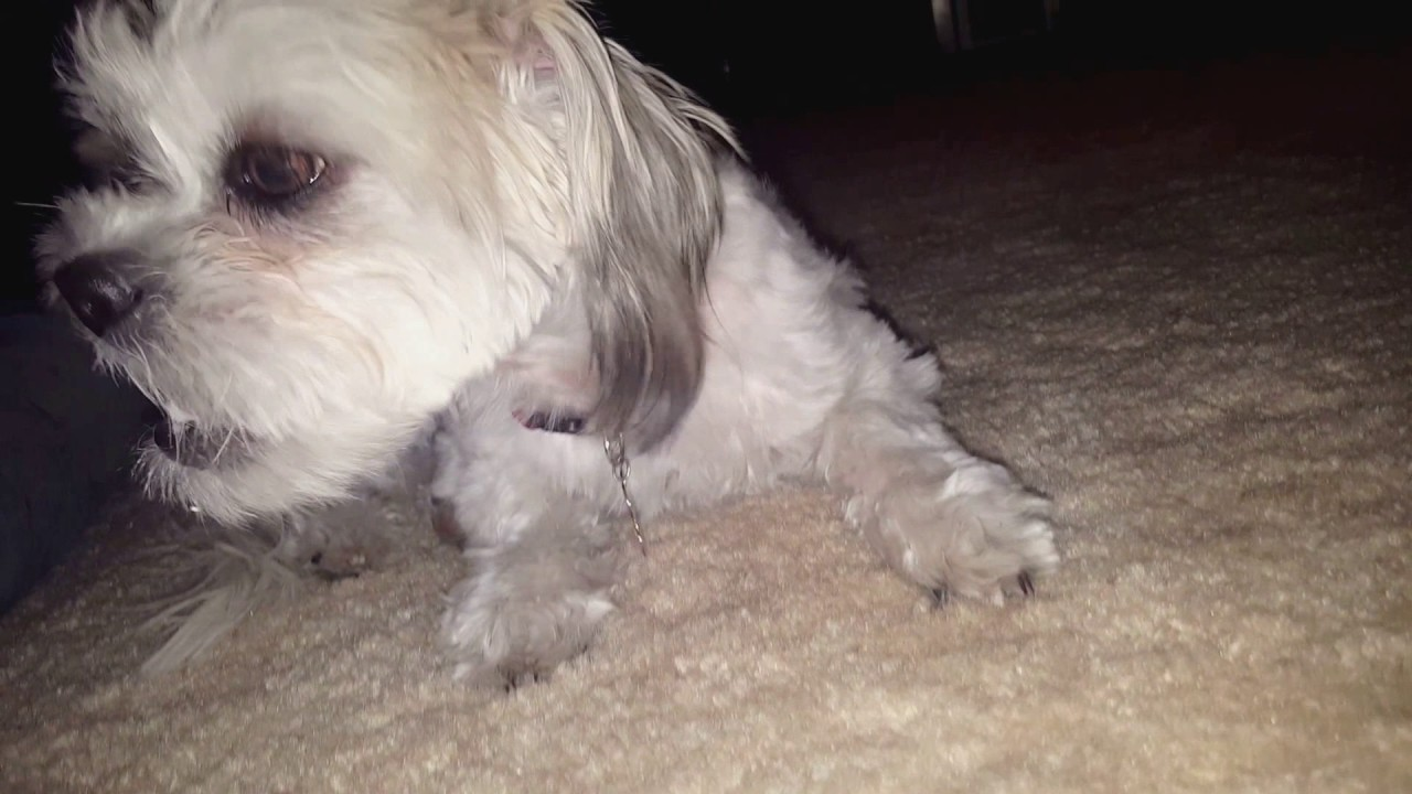 Rescue Shih Tzu Happy Enjoys A Treat After Trick Training Youtube