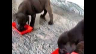 Chocolate Labrador Retriever Puppies - Alan Kennel,  Kerala