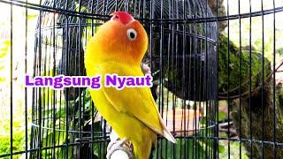 Download lagu Awas.... Lovebirdmu Jadi Sering Bunyi Mendengar Pancingan Suara Lovebird Ini