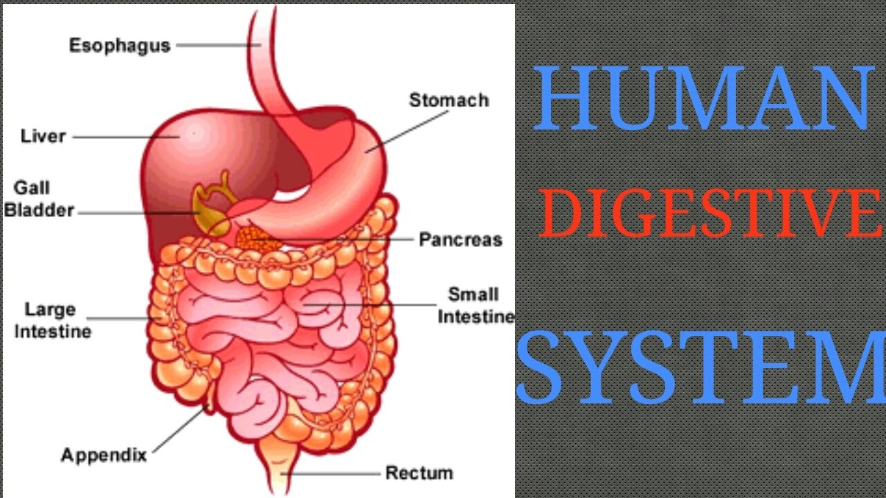 Human body - digestive system in hindi PART 1 - YouTube