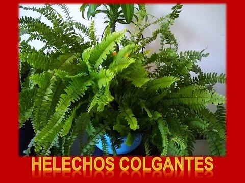 287771fe39 Helechos Colgantes Cuidados y reproduccion - YouTube