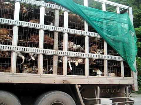 Stop ! sale of dogs meat  from Laos to Vietnam. Killing & Eatting Dogs in restaurant