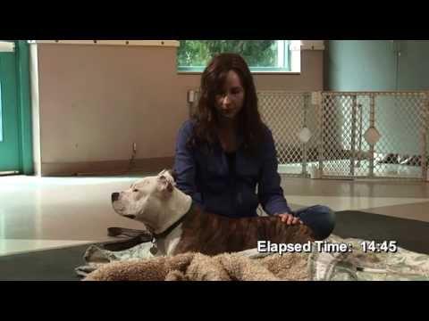 Rescued Pitbull Leads Animal Reiki Treatment Video | Animal Reiki Source