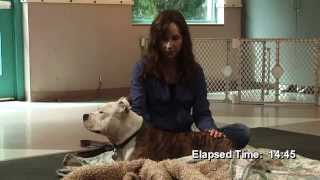 Rescued Pitbull Leads Animal Reiki Treatment Video