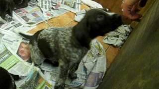6 Week Old German Shorthaired Pointer Puppies