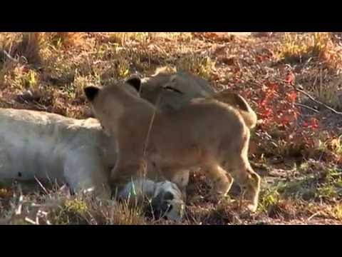 Lioness Loves Her Cub - Beautiful Shot