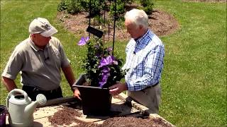 How to Grow Clematis in Containers