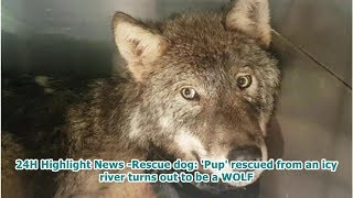 24h Highlight News -rescue Dog: 'pup' Rescued From An Icy River Turns Out To Be A Wolf