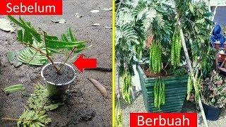 Gambar cover Cara Stek Batang Pete Agar Cepat Tumbuh Dan Berhasil..