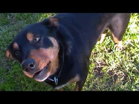 Kelpie Dog: Goda in  You're Boring Me (30th,Nov,2013)