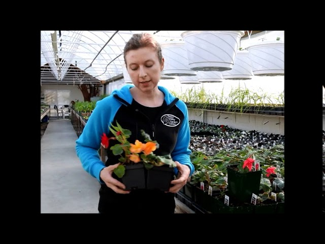Trailing Begonias at Green Valley Garden Centre