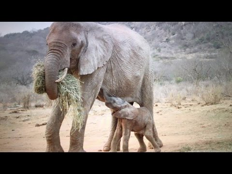 Orphaned Elephant Returns To Sanctuary That Saved Her With a Baby Calf