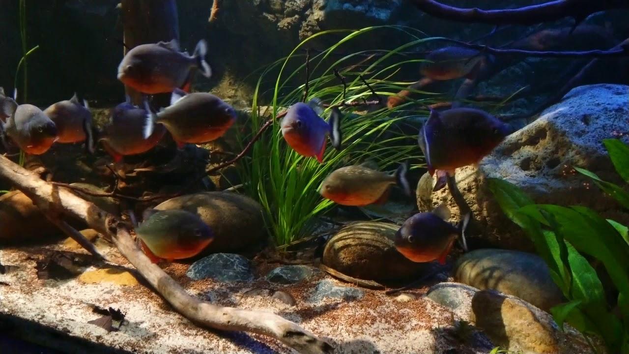 Download Amazonas,14 Pygocentrus nattereri, aquafreak