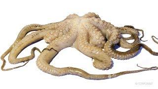 Octopus Decomposition Time-lapse