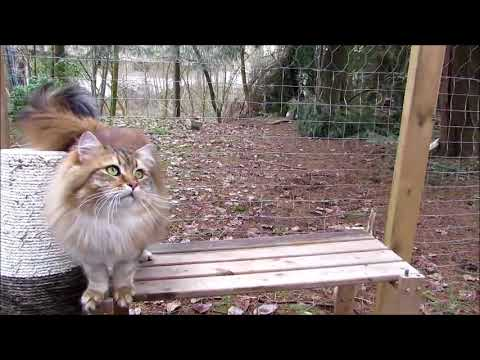 Siberian cattery BolshoyDom located in BC, Canada