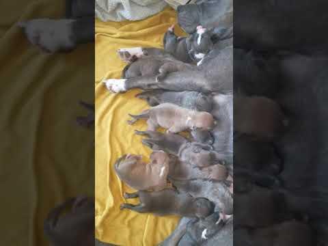 Kane and Chloe pitbull litter of 11 puppies