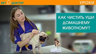 Как правильно и чем чистить уши собаке или щенку в домашних условиях. Ветеринарные советы