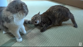 The Pending Catfight Between Lulu & μ.  Panda give comfort to Lulu & μ  決着のつかない猫の喧嘩 パンダが慰める。