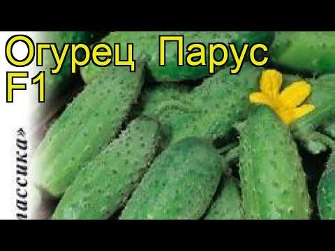 Огурец Парус F1 (Огурец). Краткий обзор, описание характеристик, где купить семена cucumis sativus
