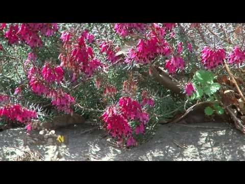 Цветение сакуры. Прогулка по ботаническому саду. Сакура 2017.