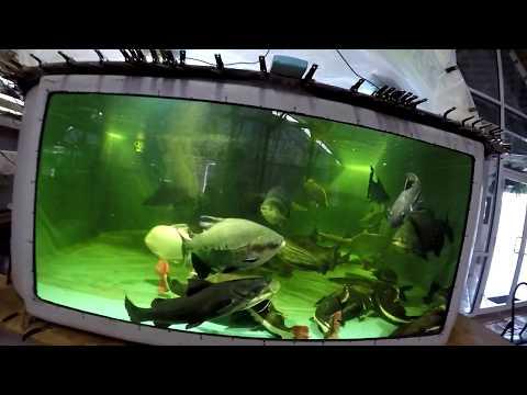 Two Jau Catfish, Zungaro Zungaro, 3', Clip