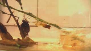 クロアゲハ蝶の羽化の瞬間です。証明が少し暗いのが残念!
