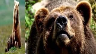 Гризли. Самый сильный медведь на Земле!(, 2016-08-24T13:29:22.000Z)